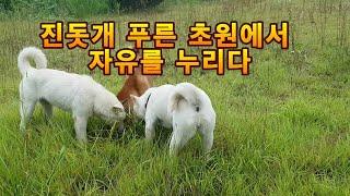 진돗개 해탈이3모녀 푸른초원에서 자유를 [자연 환경에서…