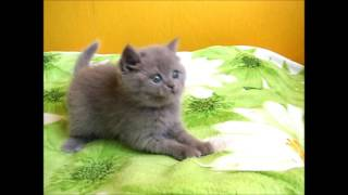 Милая Ханни - лиловый британский котенок!