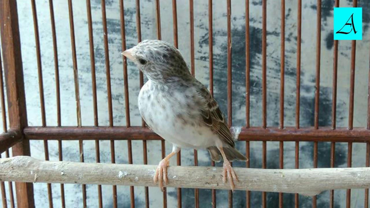 Cukup 5 Menit Burung Edel Sanger Manapun Bakal Nyaut Dan Gacor Youtube