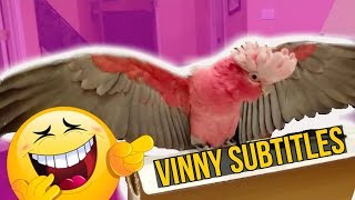 MY CRAZY TALKING COCKATOO VINNY, THROWS A TANTRUM OVER A BOX! ** SUBTITLES**