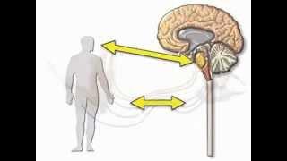 Нервная система человека 1