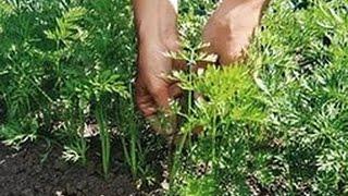 Геморрой: лечение травами.