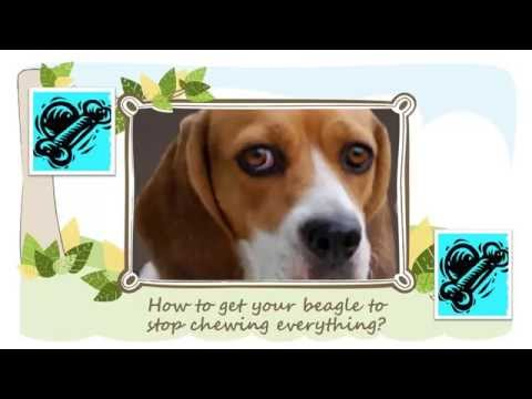 how-to-get-your-beagle-to-stop-chewing-everything?!!