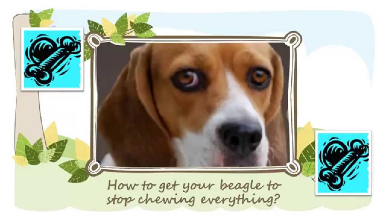 how to get your beagle to stop chewing everything?!! - youtube