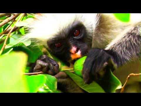 Zanzibars Red Colobus Monkeys – Sansibars rote Stummelaffen