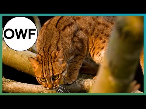 What's The Smallest Cat Species In The World? - One Wild Fact - Earth Unplugged