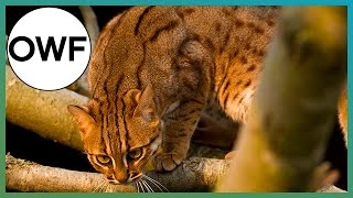 What's The Smallest Cat Species In The World? | One Wild Fact | Earth Unplugged
