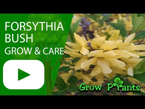 Forsythia bush - growing & care