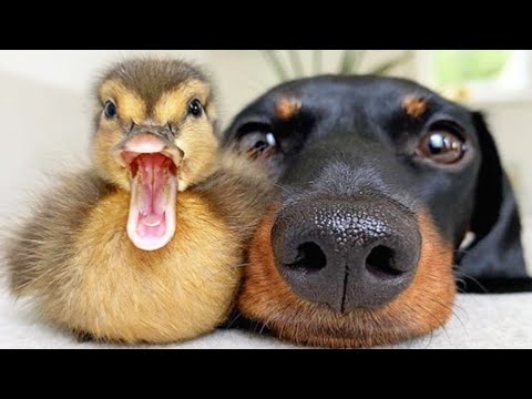 AWW CUTE BABY ANIMALS Videos Compilation cutest moment of the animals  Soo Cute! #43