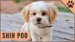 Shih Poo | Poodle  Shih Tzu Mix