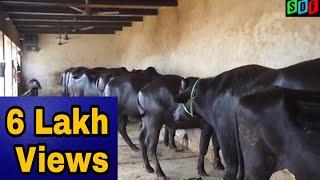 Beautiful Murrah Buffalos and Sahiwal Cows in Kathal (Haryana).