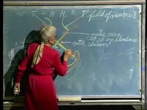 Integrative Biology 131 - Lecture 30:  Eye