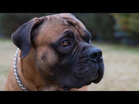 BOERBOEL 101! Beautiful Mastiff or Dangerous Beast!?