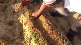 Как растёт картошка в Израиле (часть 2)