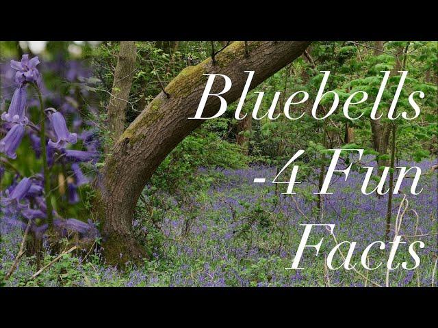 Bluebells - 4 Fun Facts...