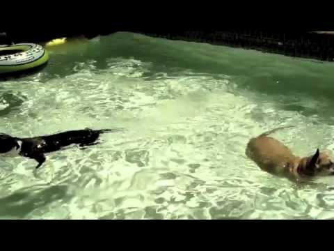 Dogs swimming