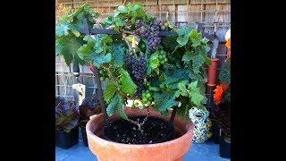 Colha Uvas em Vasos em Apenas 3 Meses