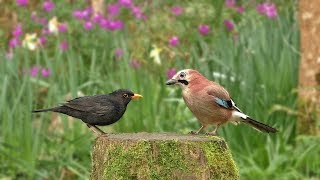 Relax Your Dog TV : Birds and Bird Sounds in The Flower Garden  8 HOURS