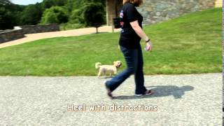 Shorkie With No Obedience Trains With Off Leash K9 Training, Columbia