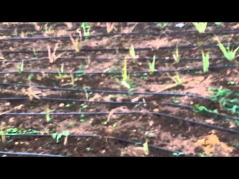 Aloevera farming