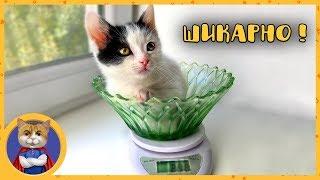 Как избавить котят от глистов. Котята - лангольеры