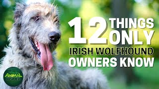 12 Things Only Irish Wolfhound Dog Owners Understand
