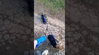 Поводок-сворка. Поводок для двух собак