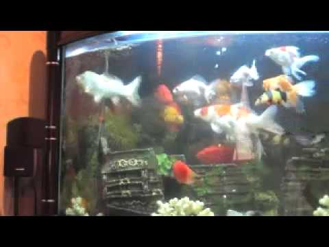 Smart koi fish youtube for Coy fish tank