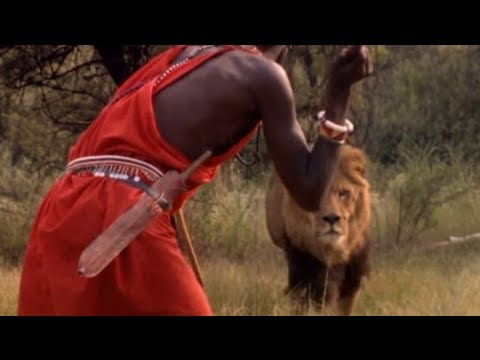 Masai In Kenya Kills A Big Male Lion With Their Spears