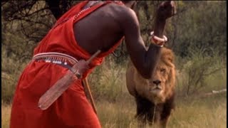 A big male lion took a Masai cow. 60 Masai warriors went after the ...