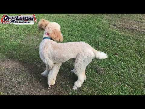 Recall with Dog Distractions! | Best Standard Poodle Dog Trainers