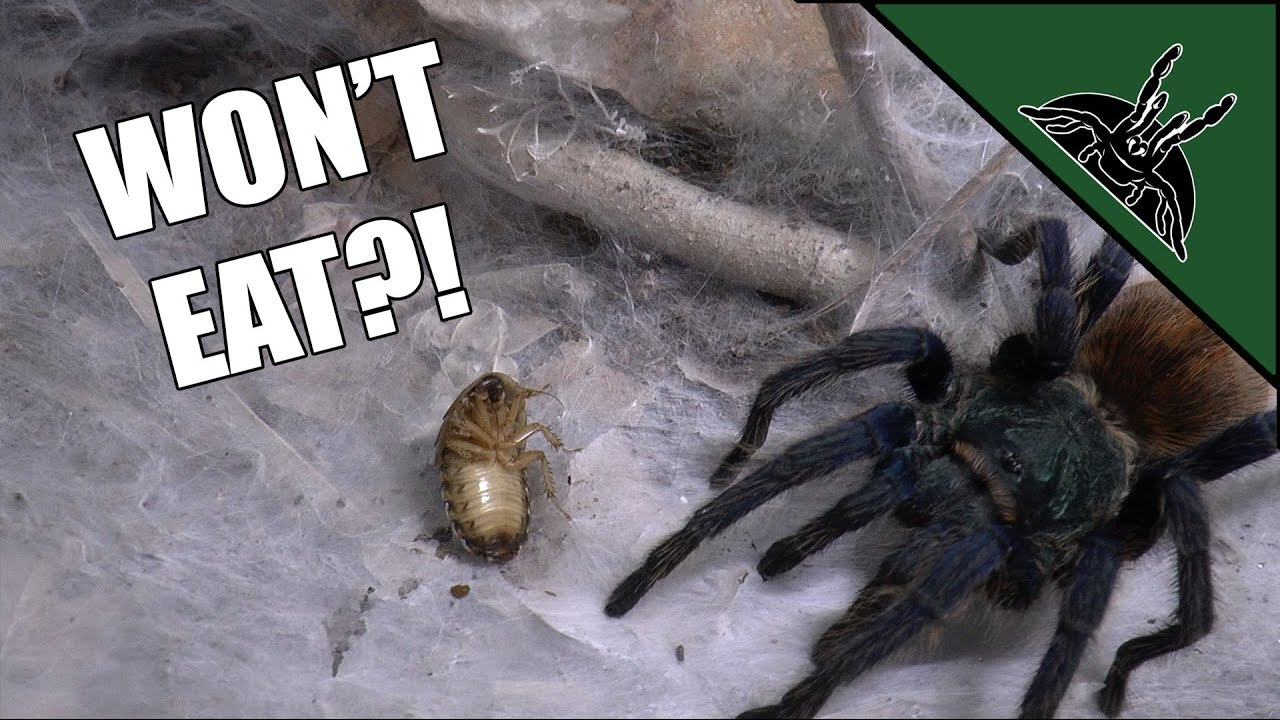 099b14549 Why won't my tarantula eat? | All you need to know - YouTube
