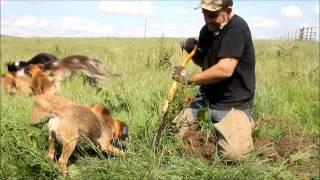 Earthdog Border Terriers Rat Catching