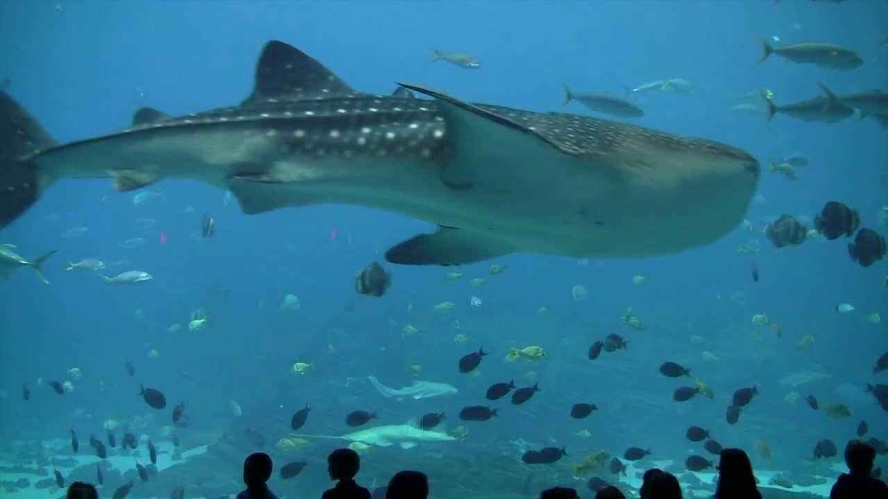 Whale Shark Feeding at Georgia Aquarium Pt 3 (Largest ...