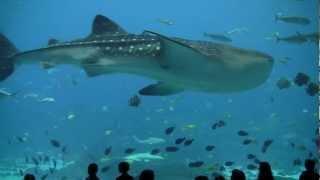 Whale Shark Feeding at Georgia Aquarium Pt 3 (Largest Aquarium in the World) 水族館