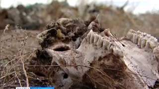 Анонс: в Березовском районе нашли головы мертвых животных