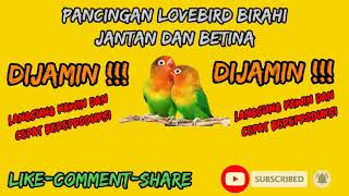 Download lagu PANCINGAN LOVE BIRD LANGSUNG KAWIN DAN CEPAT REPRODUKSI_ LOVE BIRD SULIT JODOH LANGSUNG JODOH