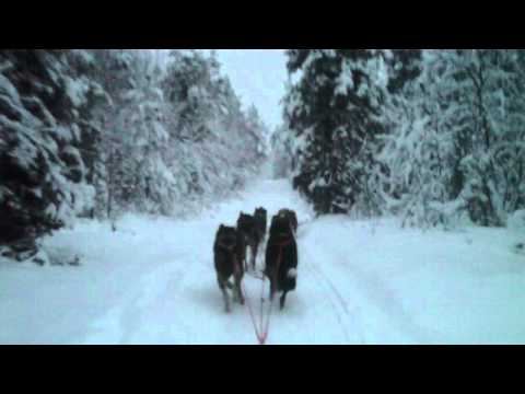 Finland Levi husky dog sledge ride lapland.MOV levi 2011 December