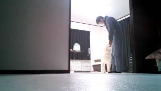ピレネー犬の銀之丞.