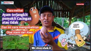 Ciri Ternak Ayam Kampung Terkena Penyakit Cacingan.