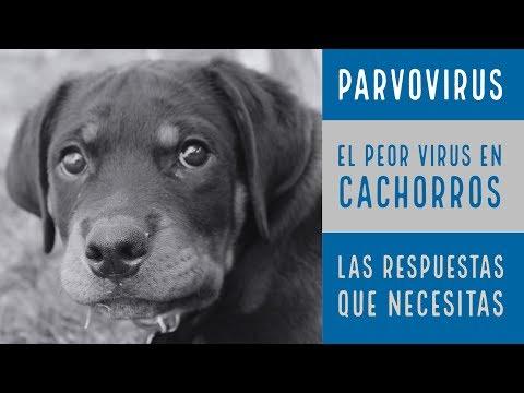 p-a-r-v-o-v-i-r-u-s-|-parvo-en-cachorros-|-duque-el-rottweiler-|-consejos-veterinarios-healthepet-|