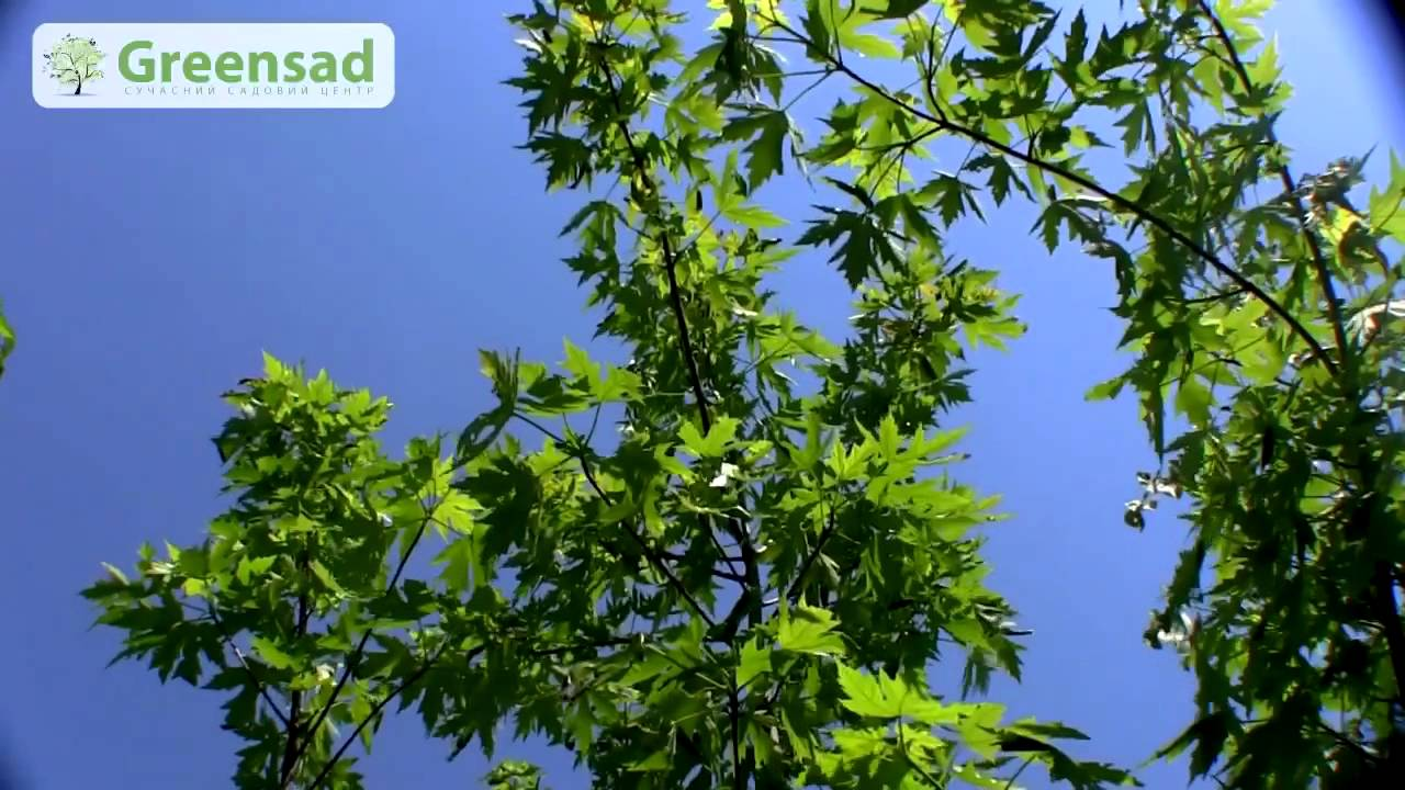 VLOG Заготовка ценного дерева: яблоня, слива, клен - YouTube