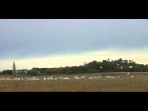 Snow Goose Hunting in Saskatchewan with Pacific Wings Prairie Outiftters (Sept 2010)