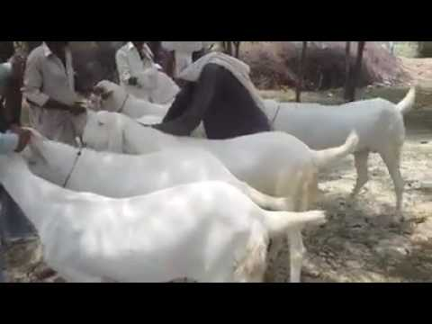 Rajanpuri Bakra For Sale