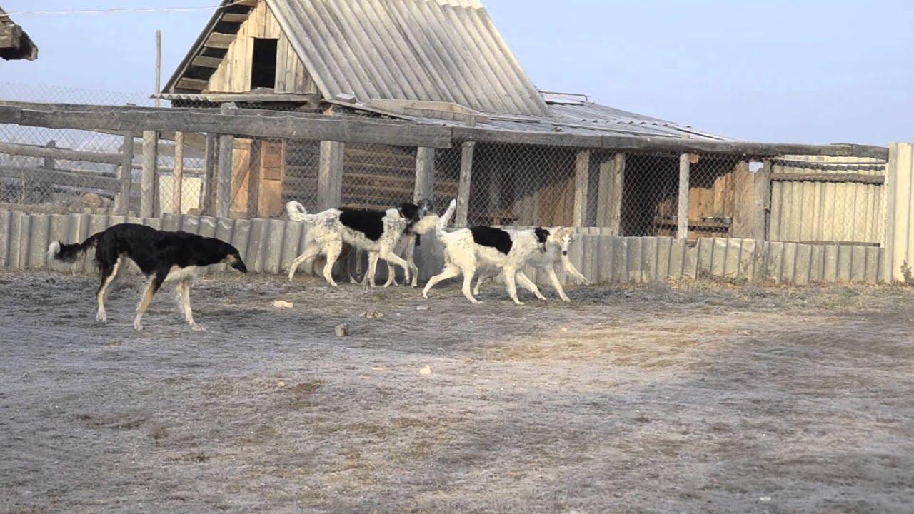 Продажа собак и щенков породы русская борзая в украине ➤ besplatka. Ua поможет выбрать и купить щенка или собаку породы русская борзая по.