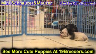 Miniature Schnauzer, Puppies, For, Sale, In, Columbia, Maryland, Md, Perry Hall, Pikesville, College