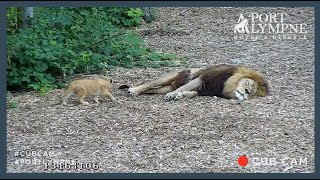 Lion Cub Cam Highlight | Amazing Moment Cub Stalks Dad While He's Asleep!