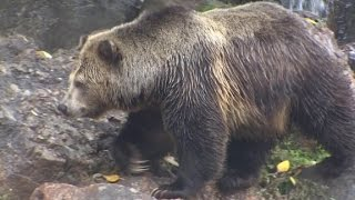 California wants its grizzly bears back