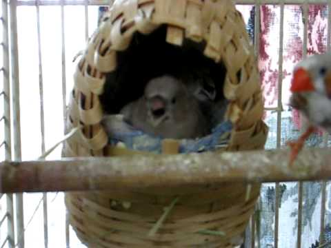 Zebra finch babies almost out of the nest - YouTube