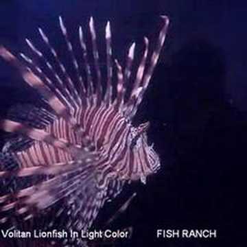 Volitan Lionfish